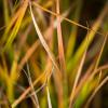 Autumn Grasses II