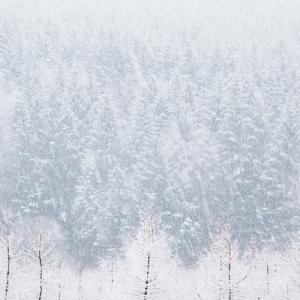 Forestry in Snow
