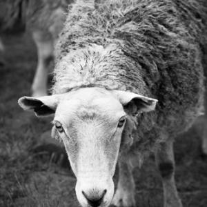 Inquisitive Sheep